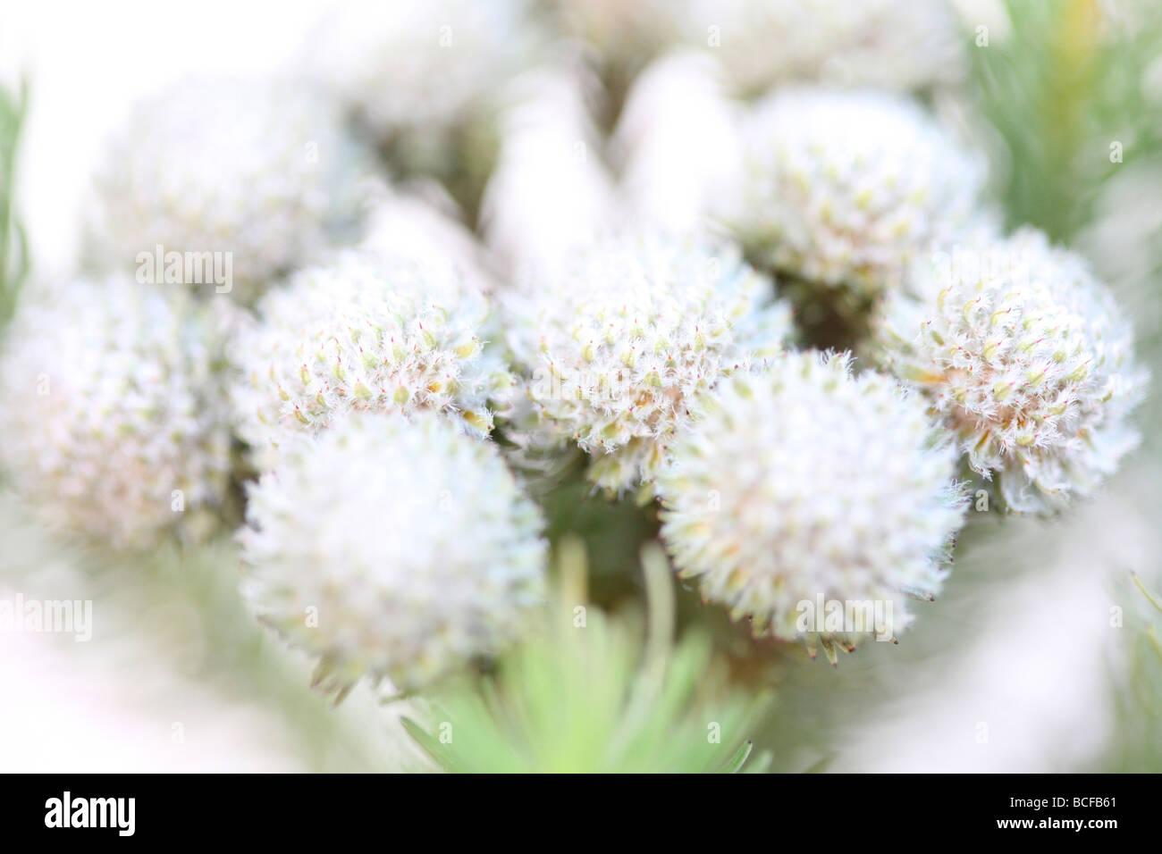 beautiful full frame image of Brunia flower heads fine art photography Jane Ann Butler Photography JABP426 Stock Photo