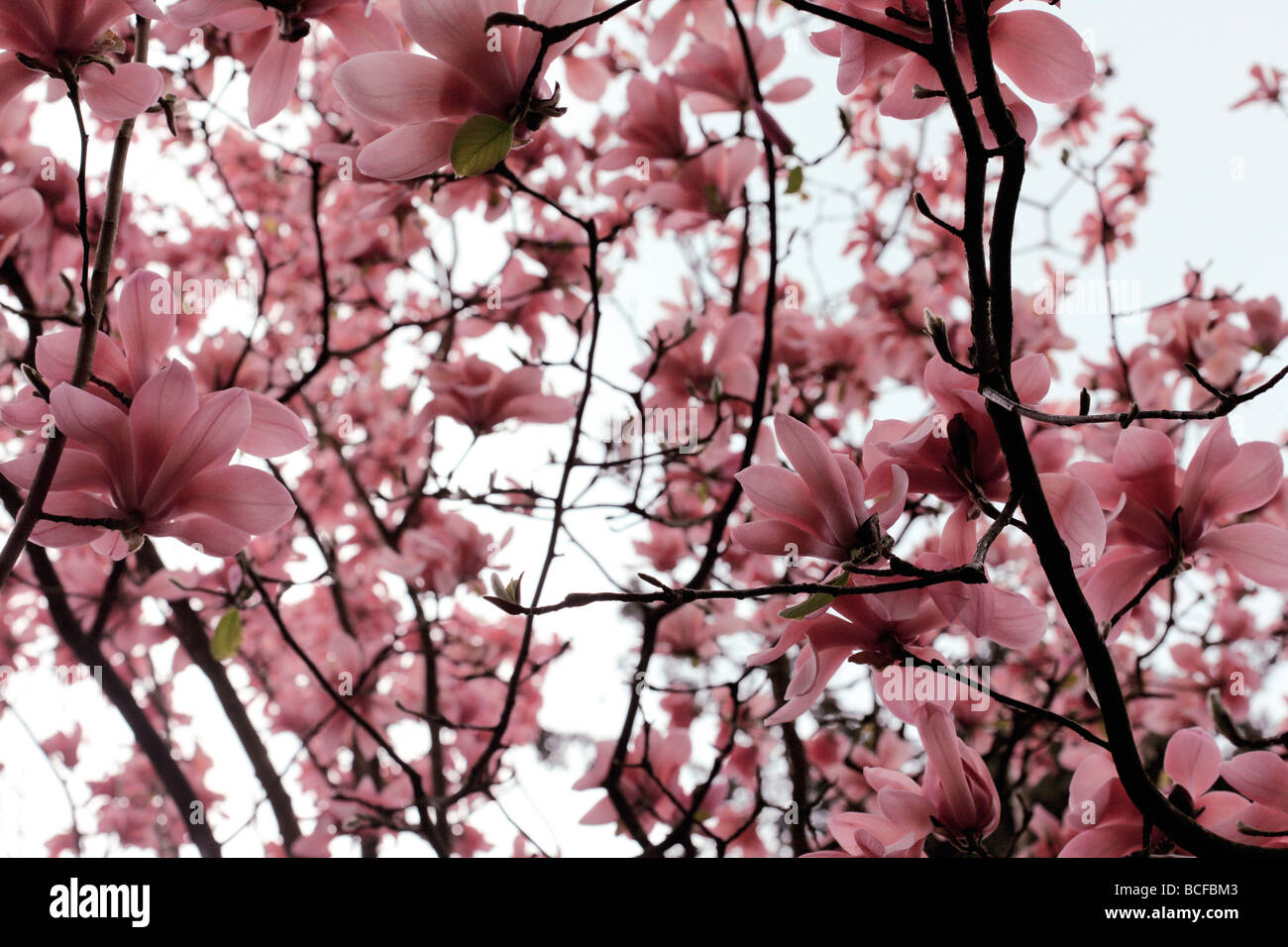 striking pink magnolia tree blooms fine art photography Jane Ann Butler Photography JABP433 - Stock Image