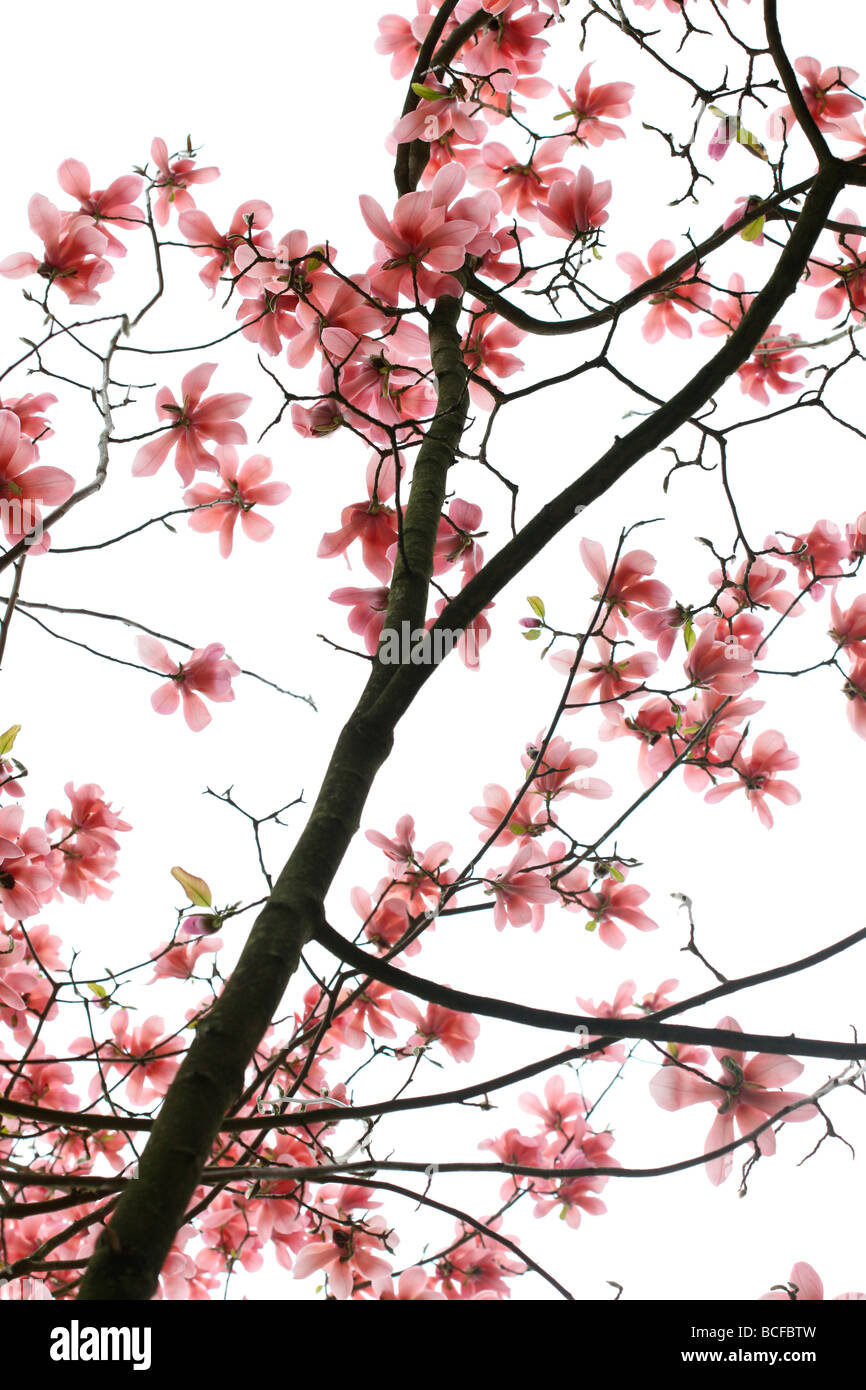 striking pink magnolia tree fine art photography Jane Ann Butler Photography JABP432 Stock Photo