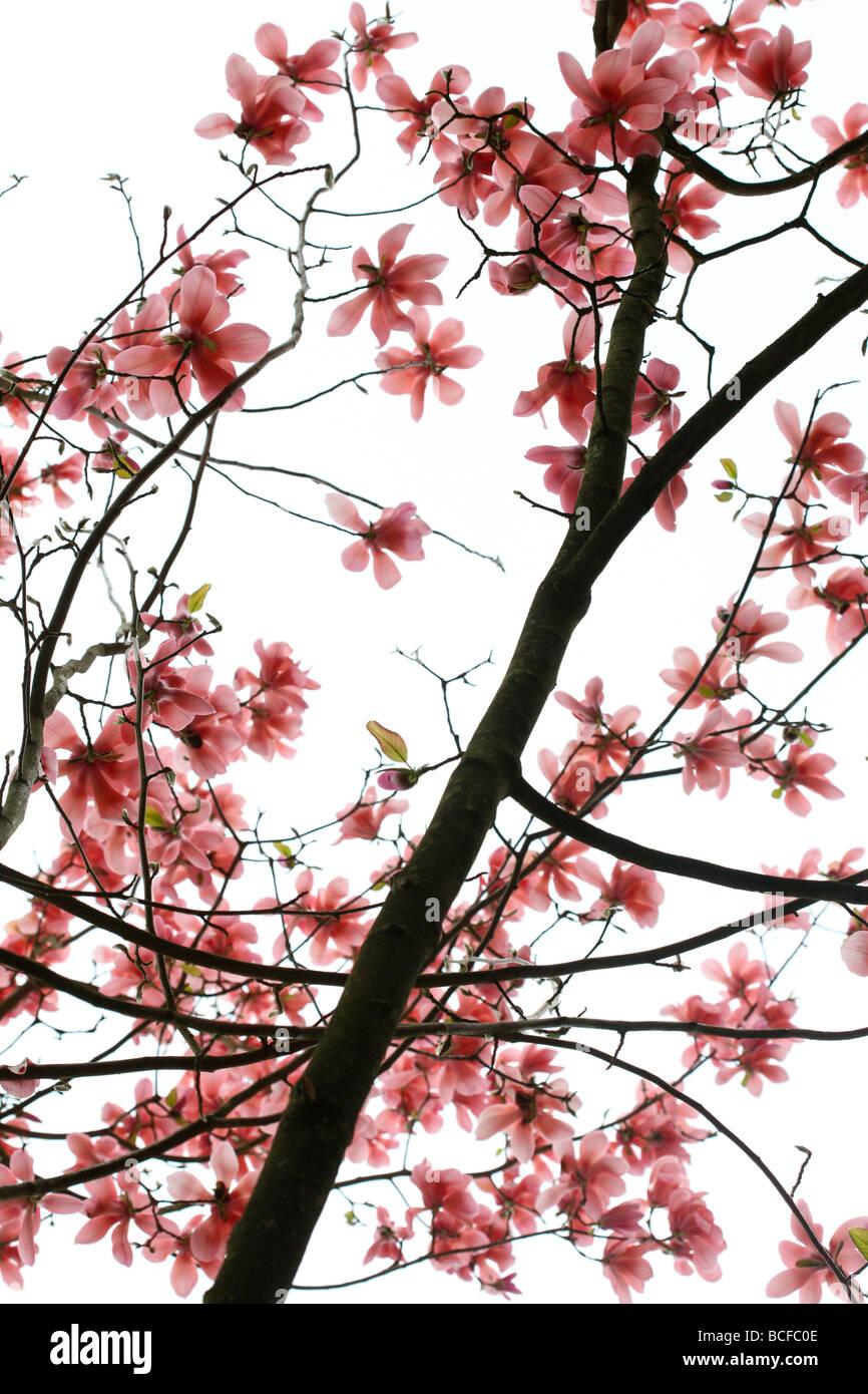 striking pink magnolia tree fine art photography Jane Ann Butler Photography JABP431 Stock Photo