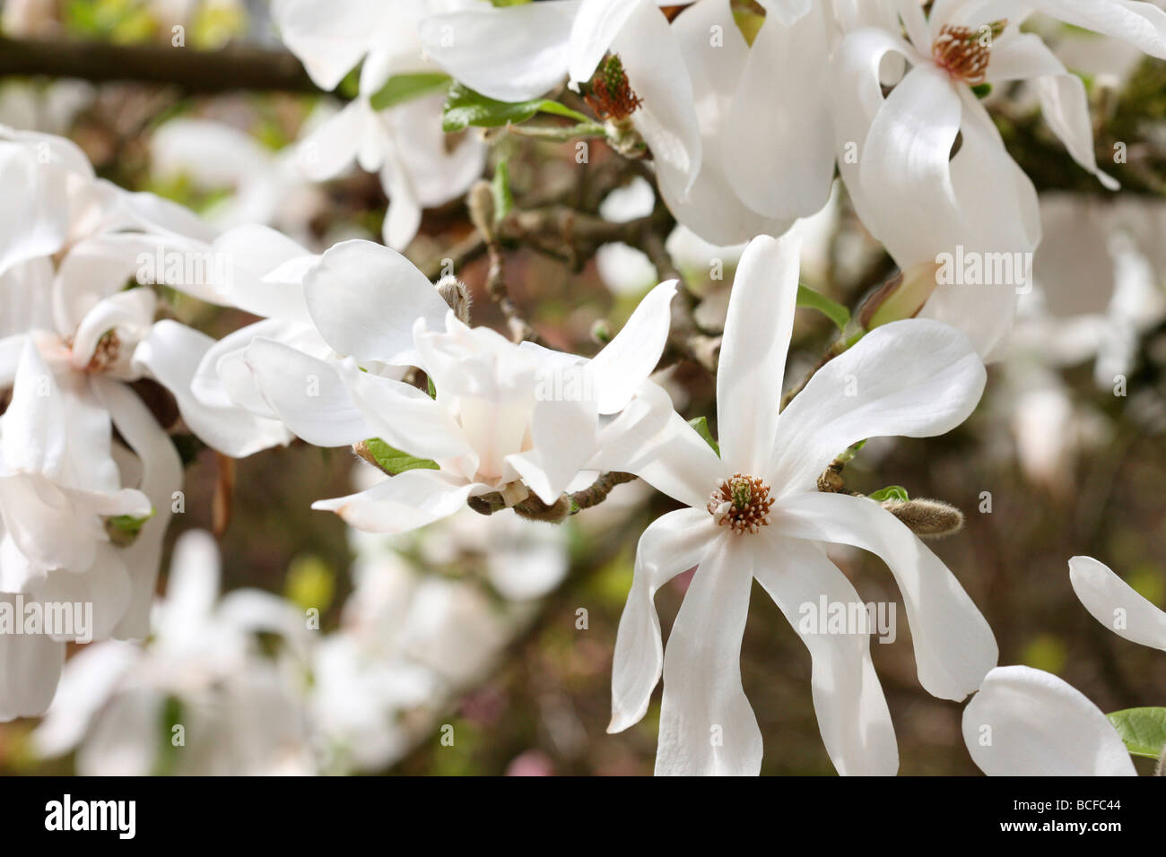 Striking White Magnolia Tree Fine Art Photography Jane Ann Butler