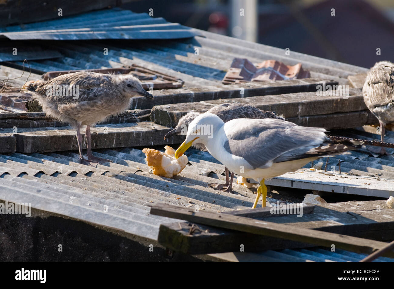 Turkey , Istanbul , seagull guards its young chicks or fledgeling on rooftop perch by nest as they eat piece of - Stock Image