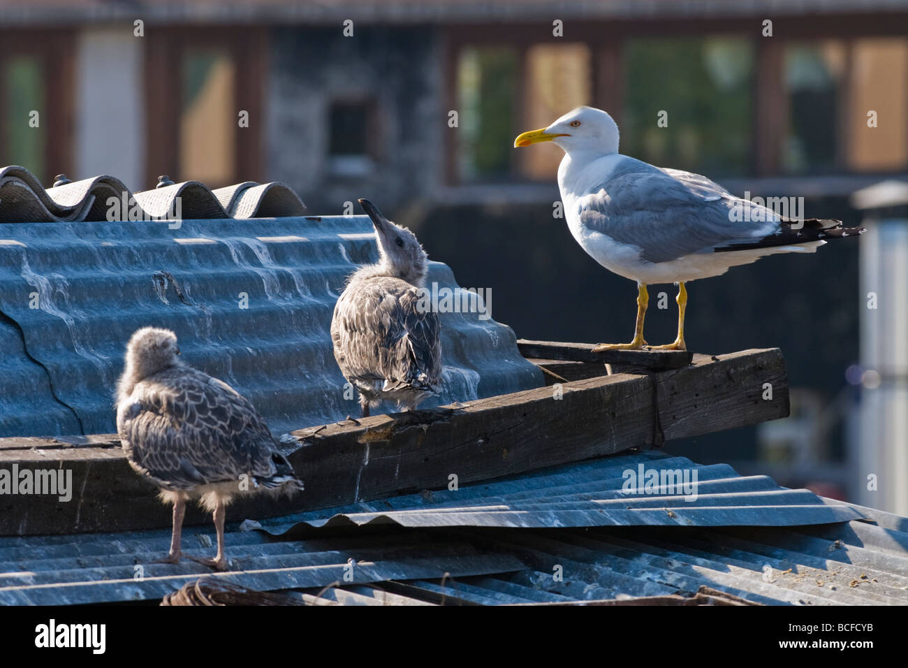 Turkey , Istanbul , seagull guards its young chicks or fledgling on rooftop perch by nest - Stock Image