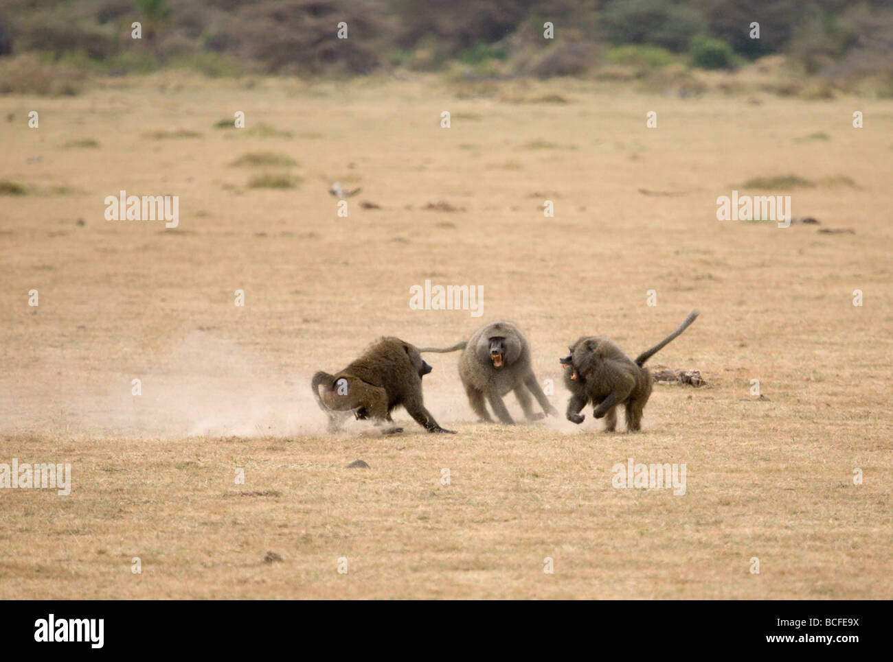 Papio sp. (Baboon), Lake Manyara National Park, Tanzania - Stock Image