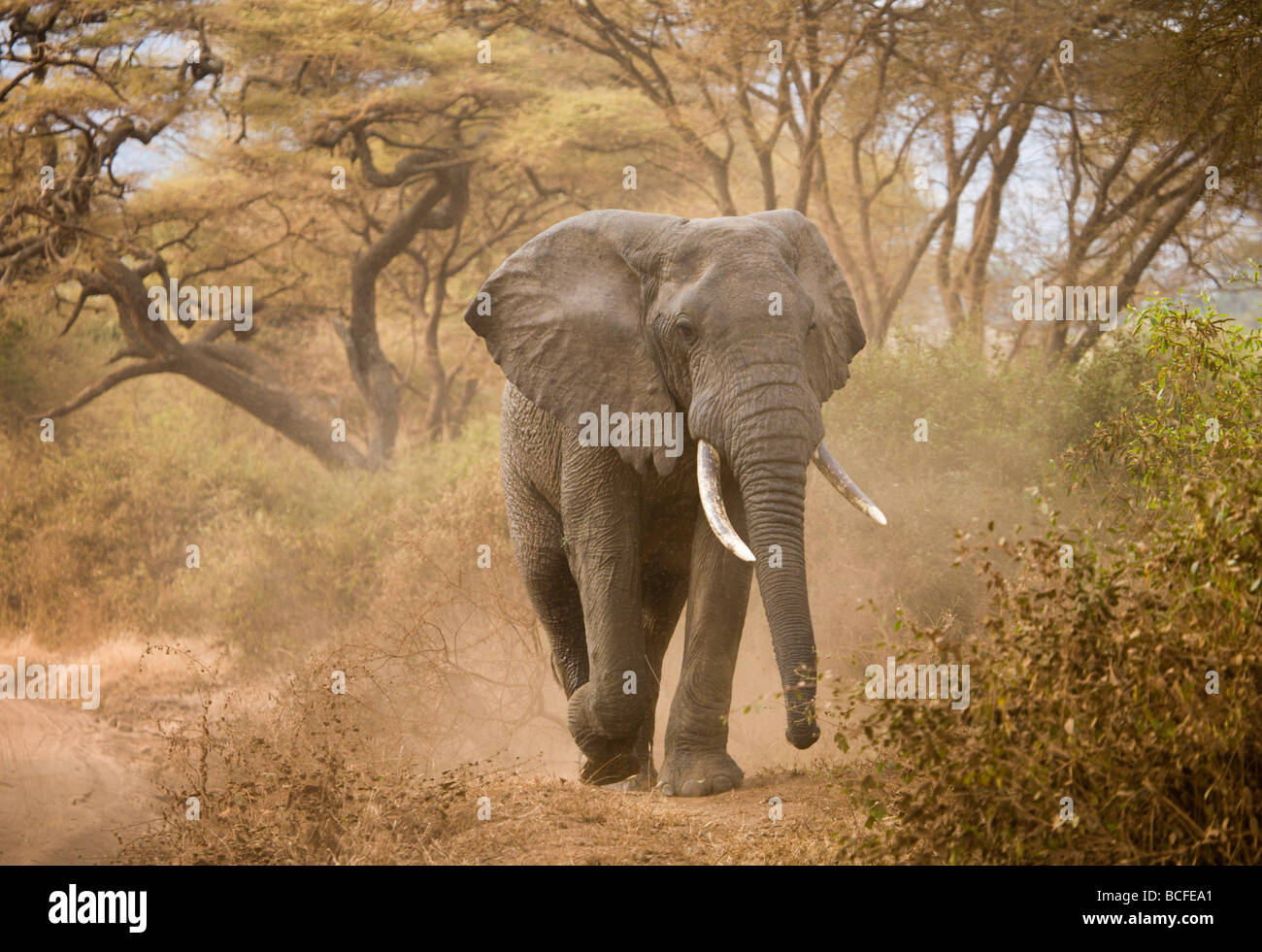 Loxodonta africana (Elephant), Lake Manyara National Park, Tanzania Stock Photo