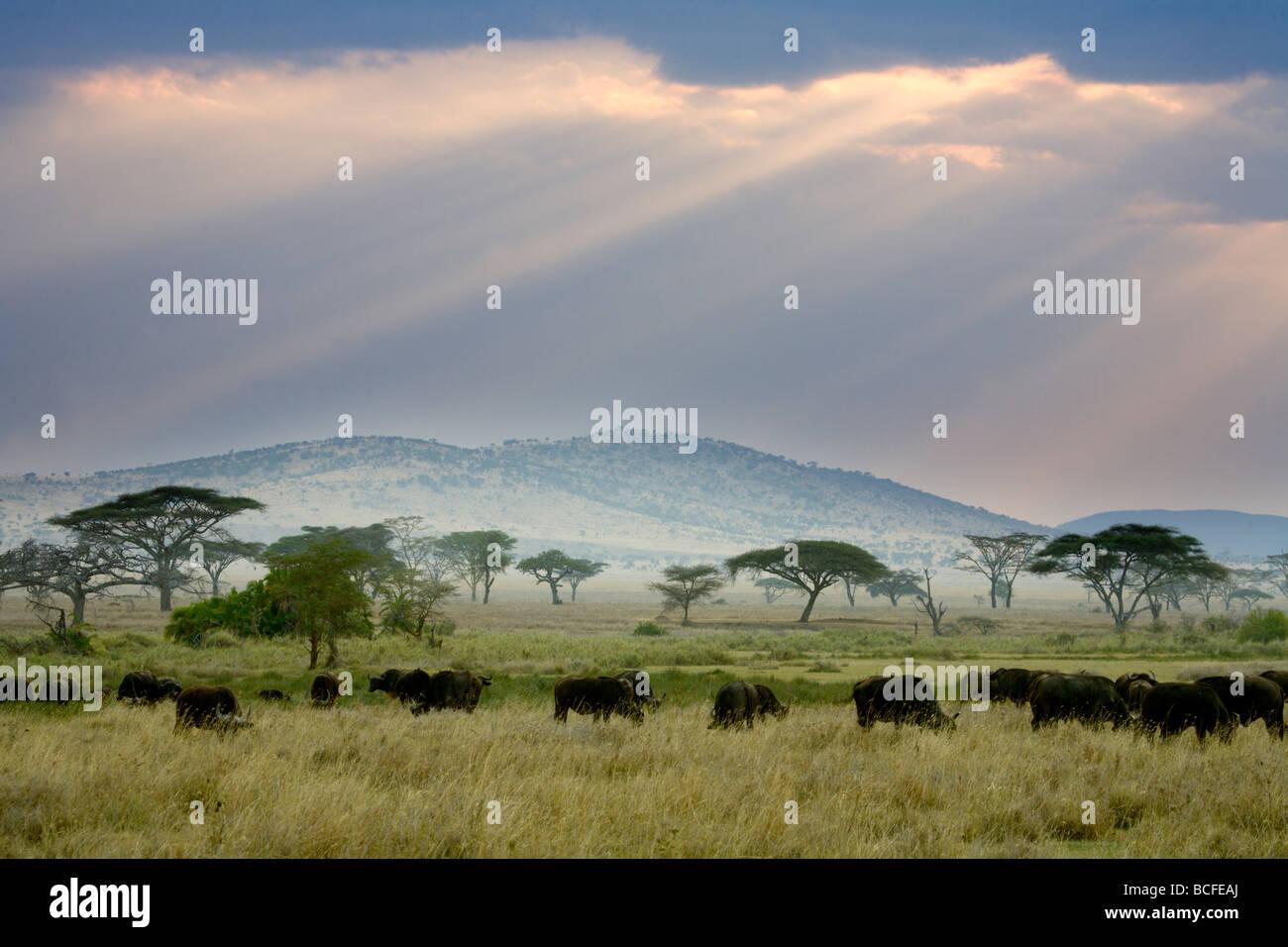 African Buffalo, Serengeti National Park, Tanzania - Stock Image