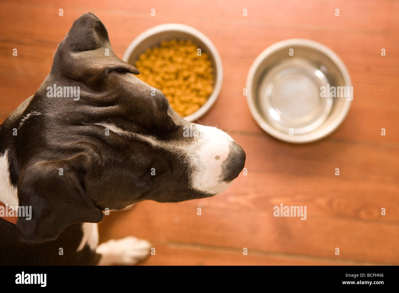 close up of a dog's head looking away from her food dishes, not interested in what is offered - Stock Image