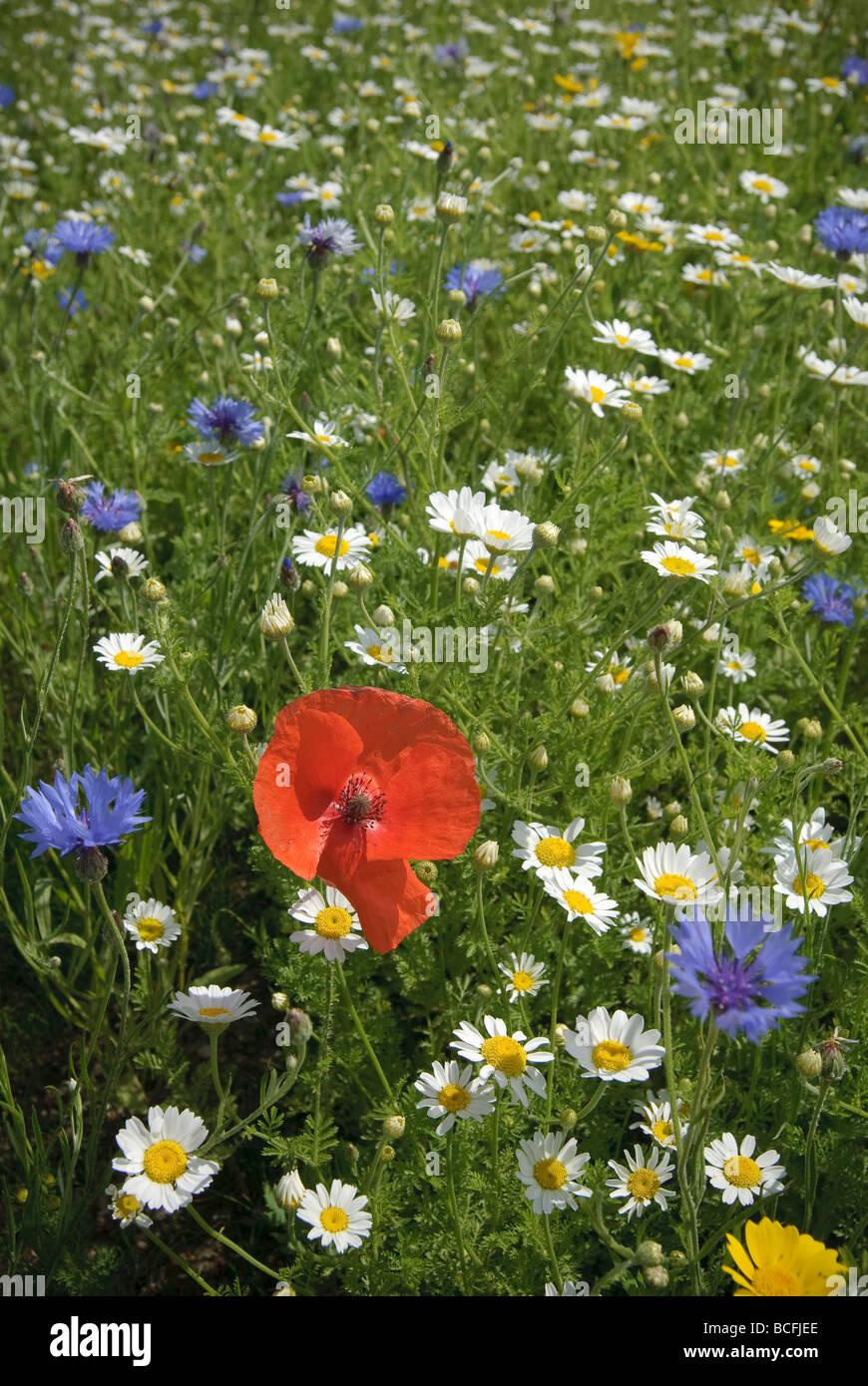 Wildflowers on a roadside verge with a red poppy central. - Stock Image
