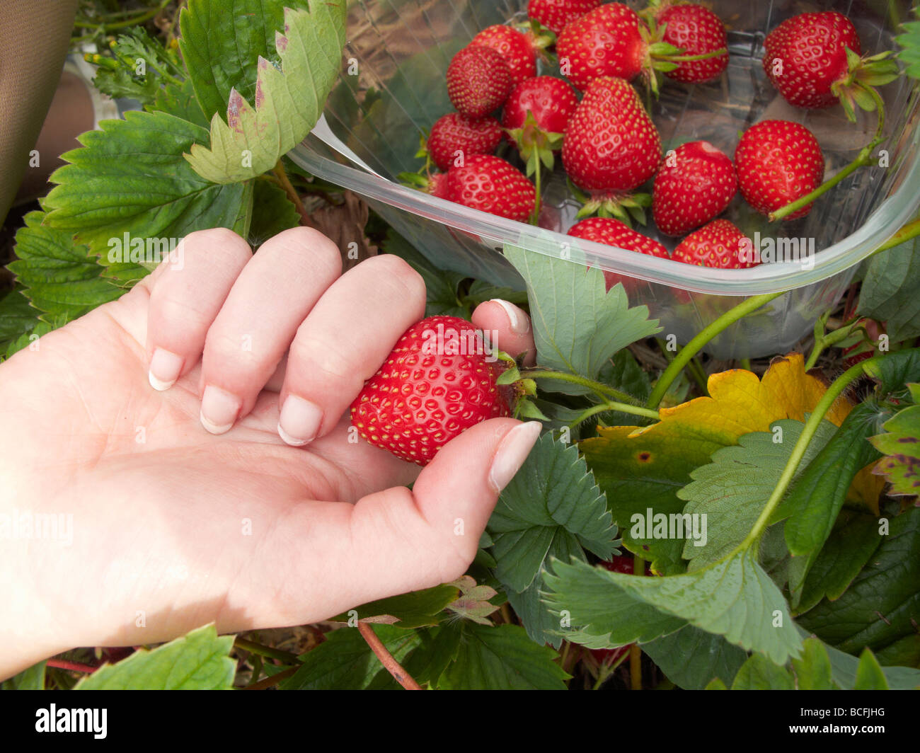 close up of hand holding a stawberry by a container - Stock Image