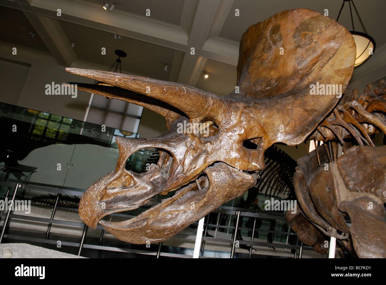 Triceratops horridus skeleton - Stock Image