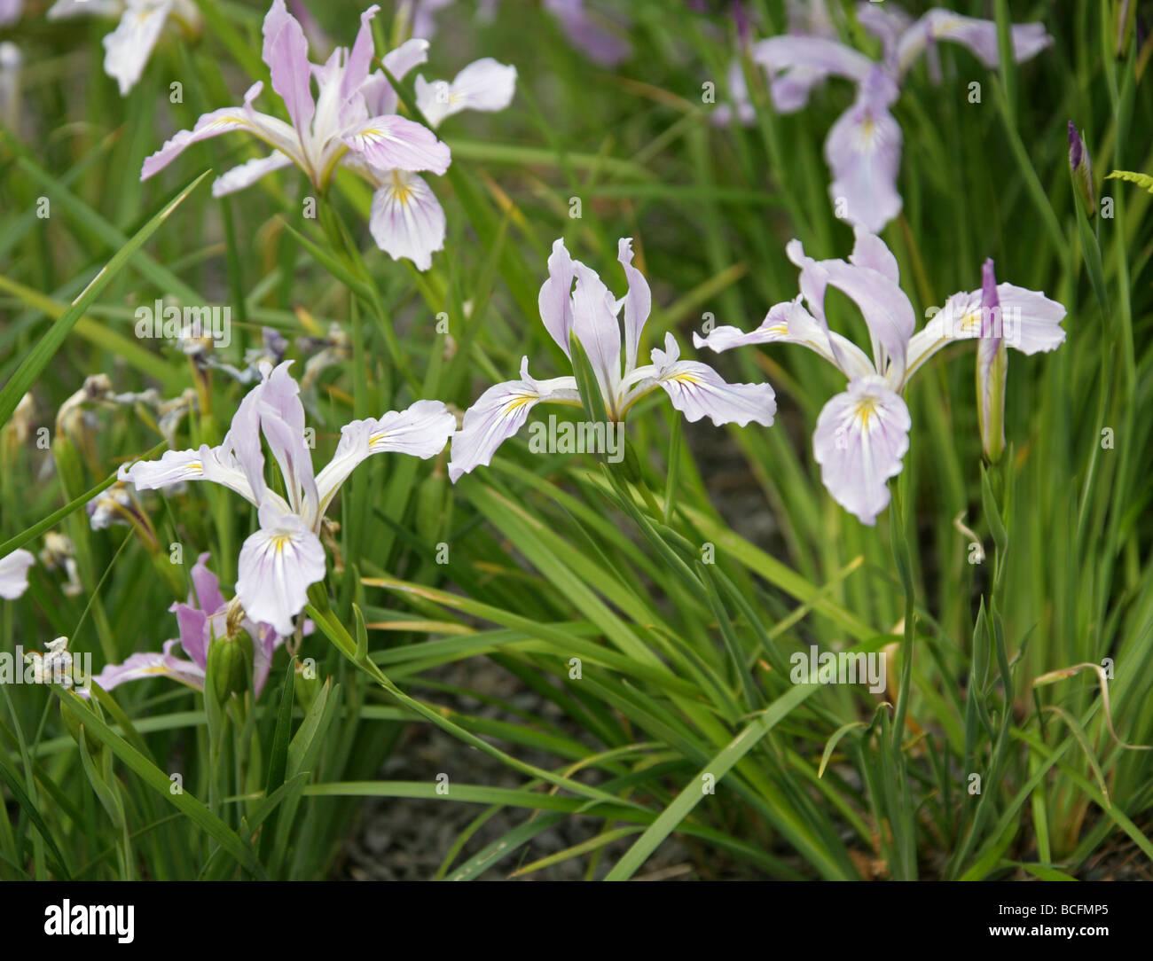 Tough-leaved Iris or Oregon Iris, Iris tenax, Iridaceae, Oregon, Washington, USA, North America. - Stock Image