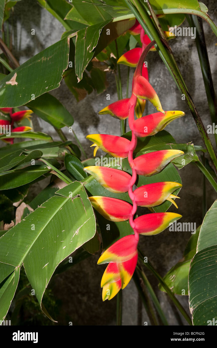 Hanging Heliconia, Lobster Claw - Stock Image