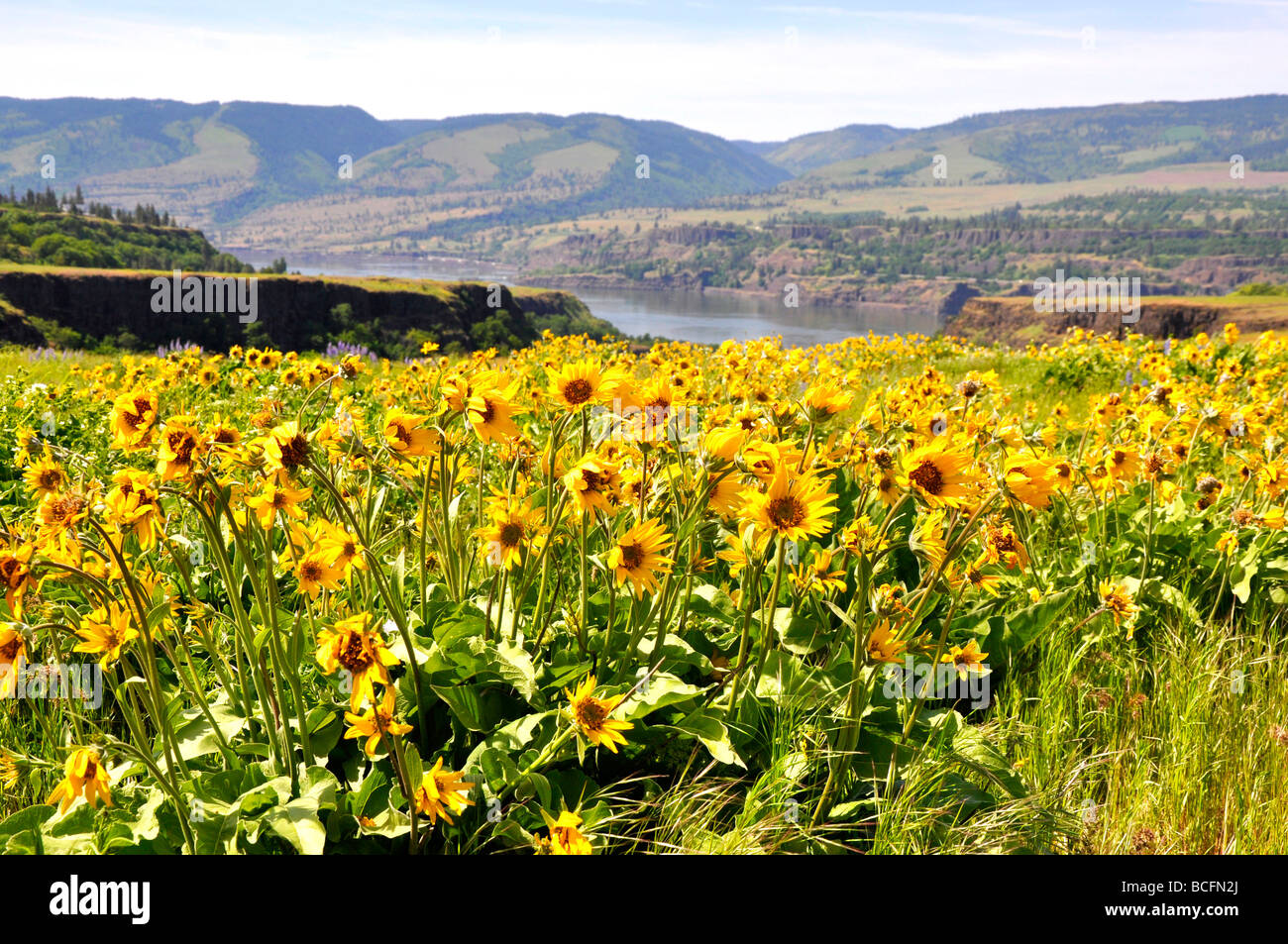 Wild flowers in the Columbia River Gorge, Tom McCall Nature Reserve, Oregon, USA Stock Photo