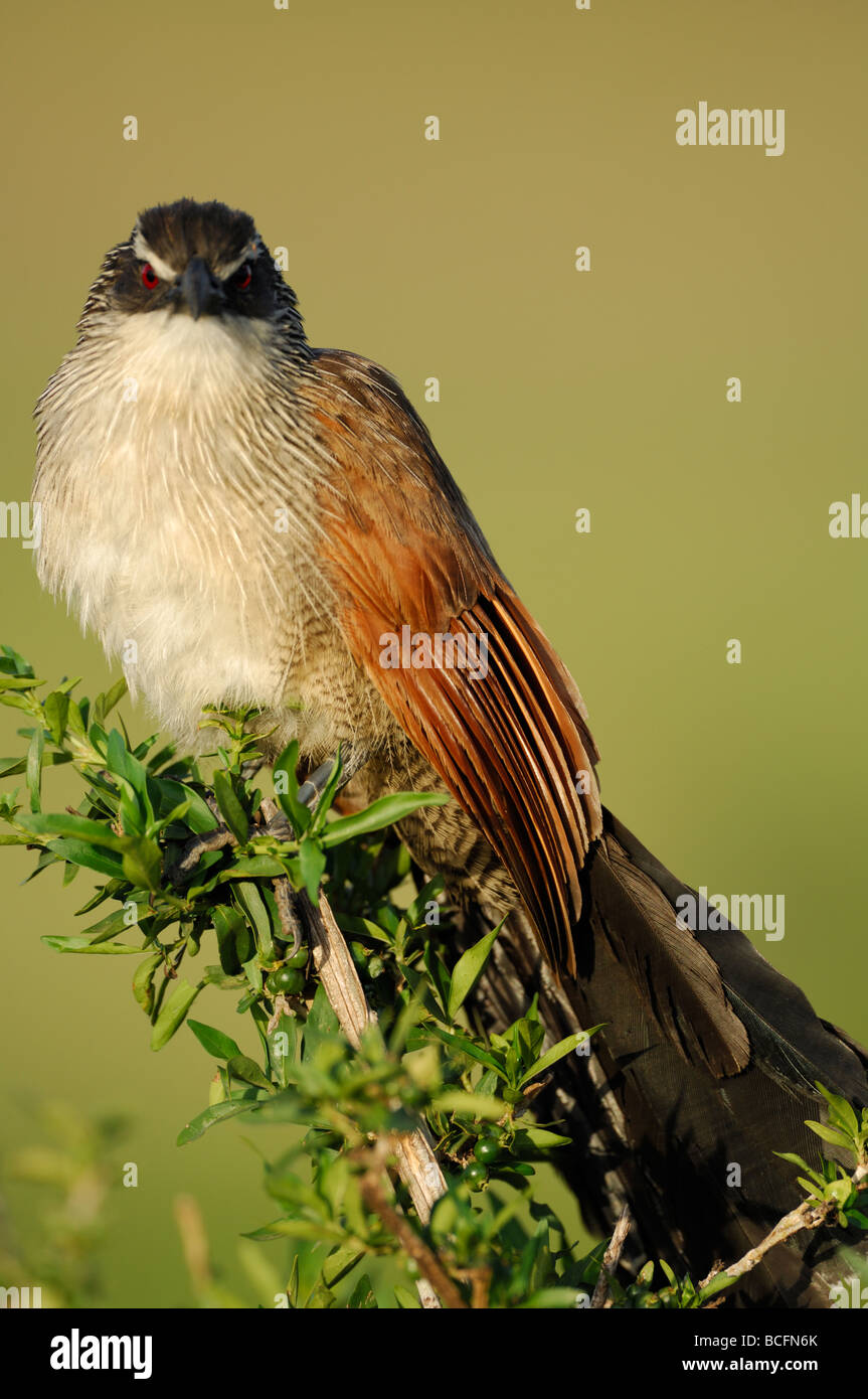 Stock photo closeup of a Senegal Coucal, Serengeti National Park, Tanzania, February 2009. - Stock Image