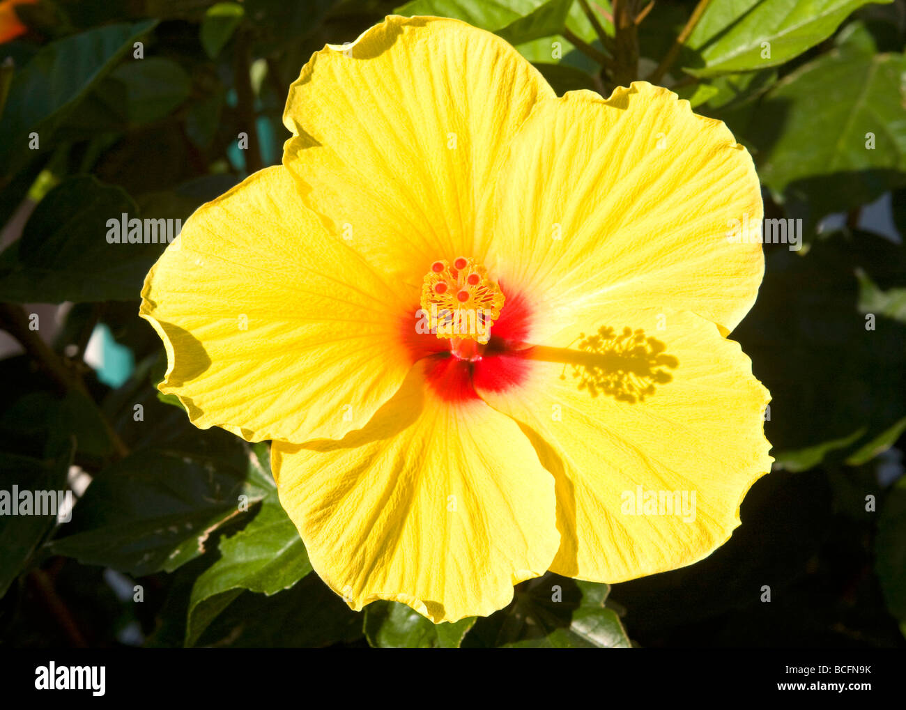 Yellow Hibiscus Flower With Red Center Stock Photo 24932255 Alamy