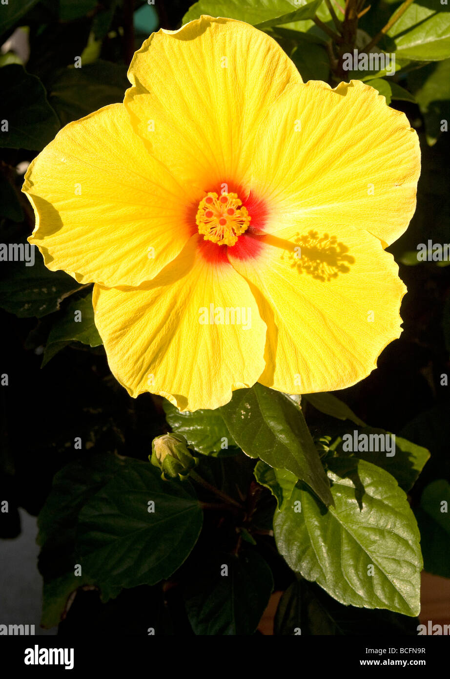 Yellow hibiscus flower with red center stock photo 24932259 alamy yellow hibiscus flower with red center mightylinksfo