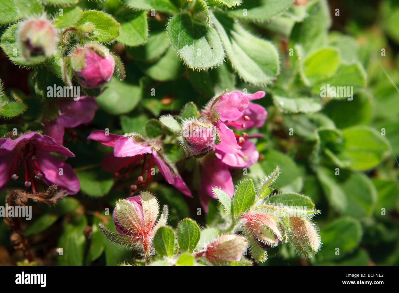 Kamchatka Rhododendron , Kamtjatkaazalea (Rhododendron camtschaticum) - Stock Image
