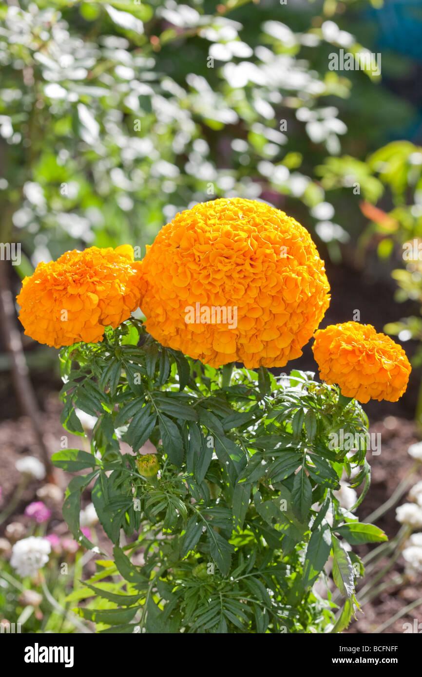 French Marigold (Tagetes patula) Stock Photo