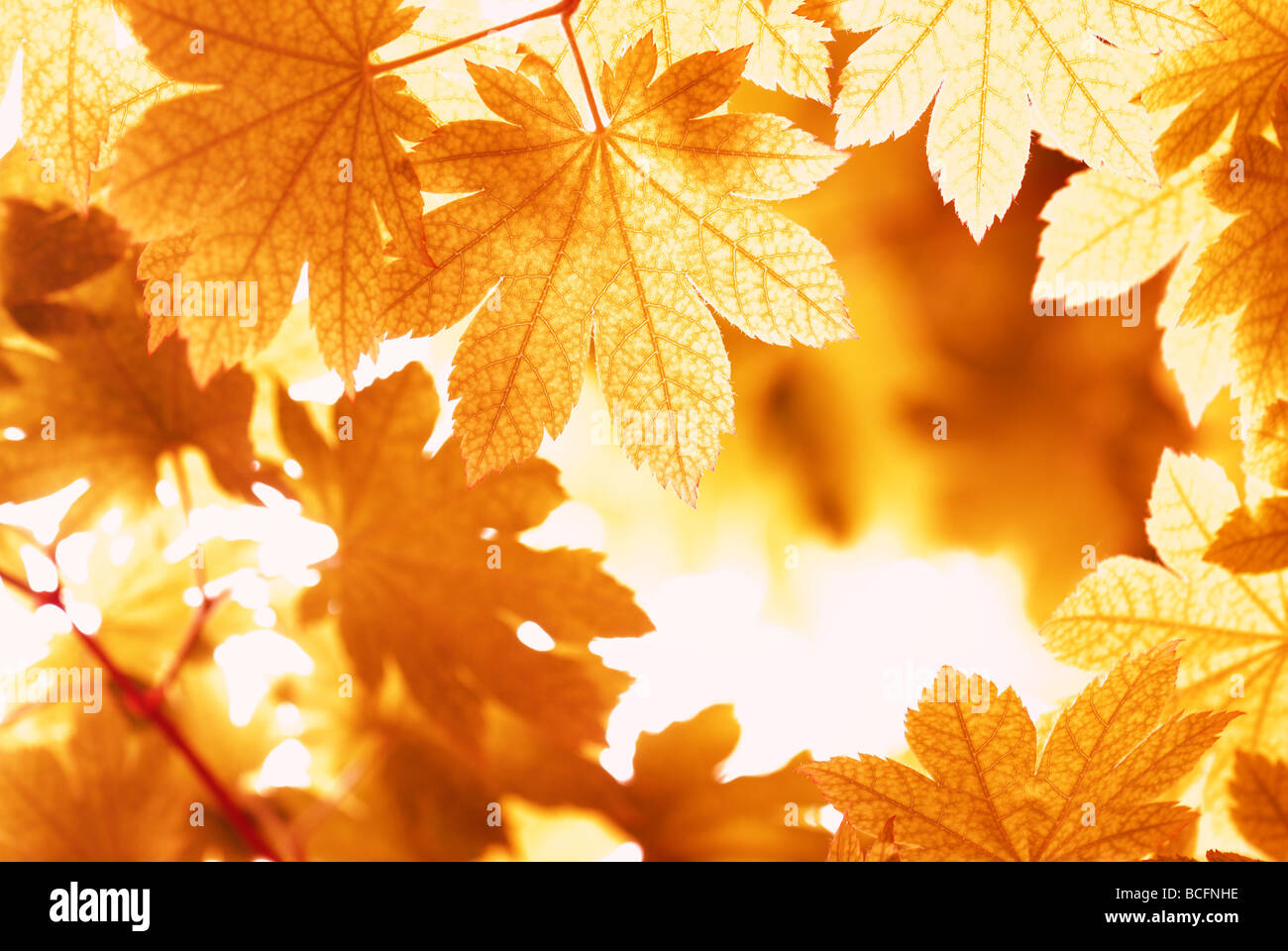 maple leaves in autumn - Stock Image