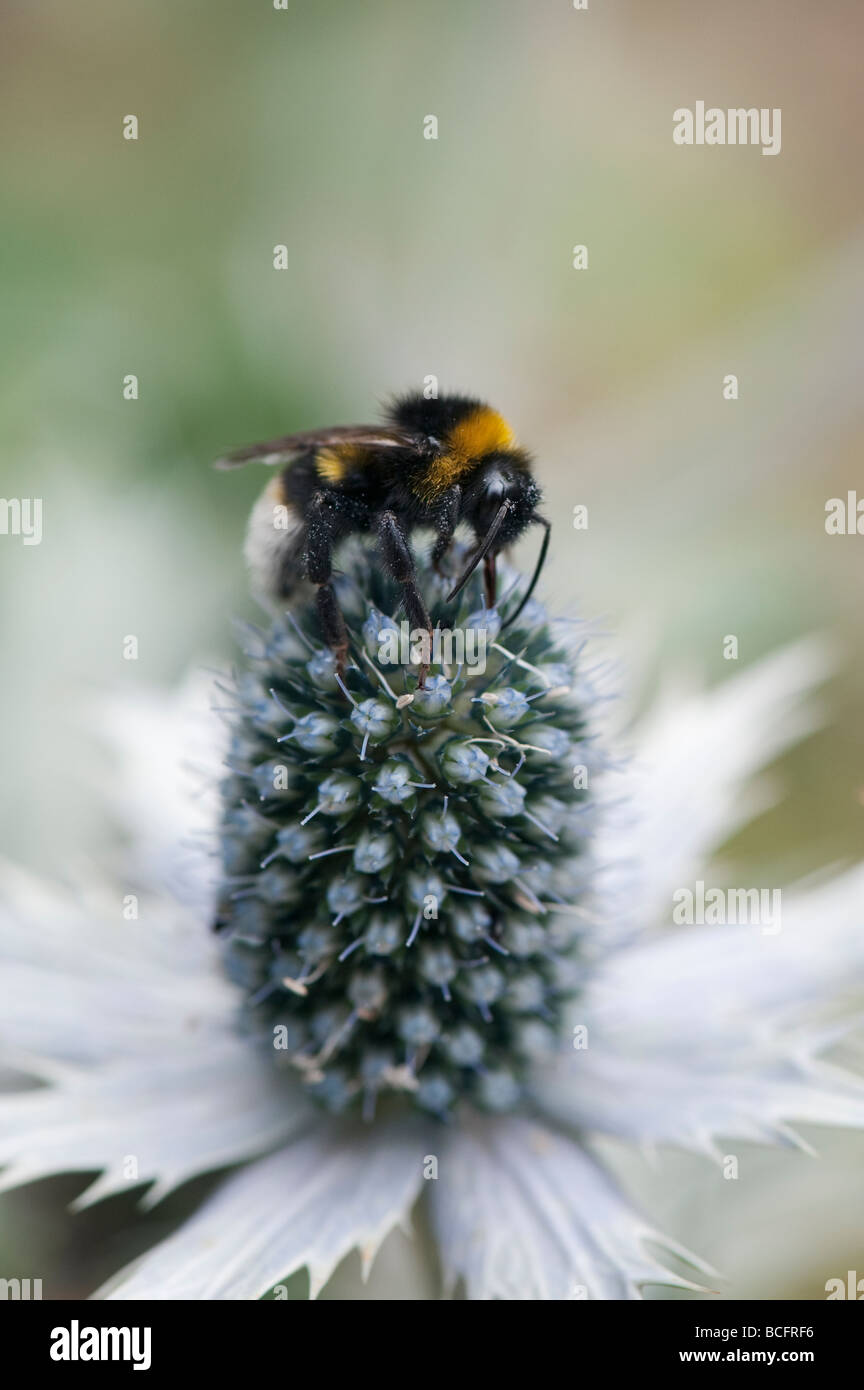 Bombus Lucorum. White tailed Bumble Bee on Eryngium giganteum 'silver ghost' sea holly in an English country - Stock Image