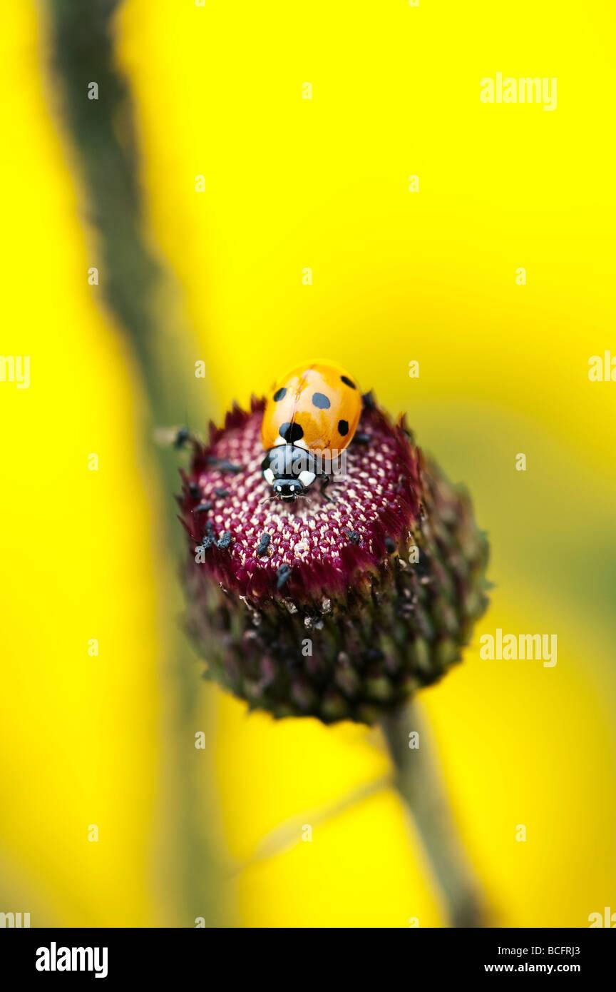 Ladybird on a Cirsium rivulare atropurpureum, Ornamental thistle - Stock Image