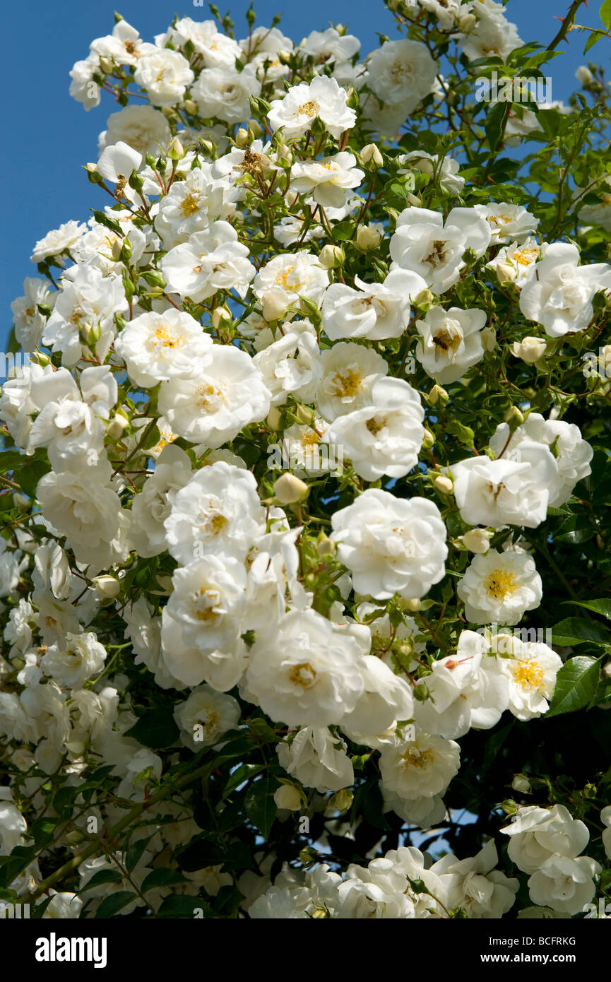 Rosa `Saunders White` rambling rose - Stock Image