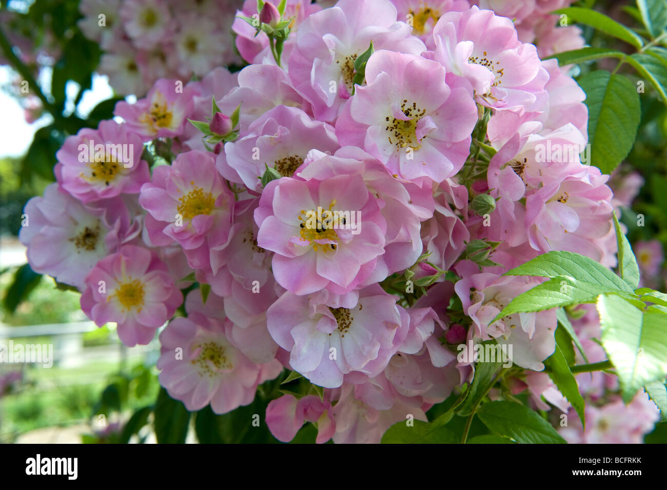 Rosa Blush rambling rose with cupped light pink semi double flowers. - Stock Image