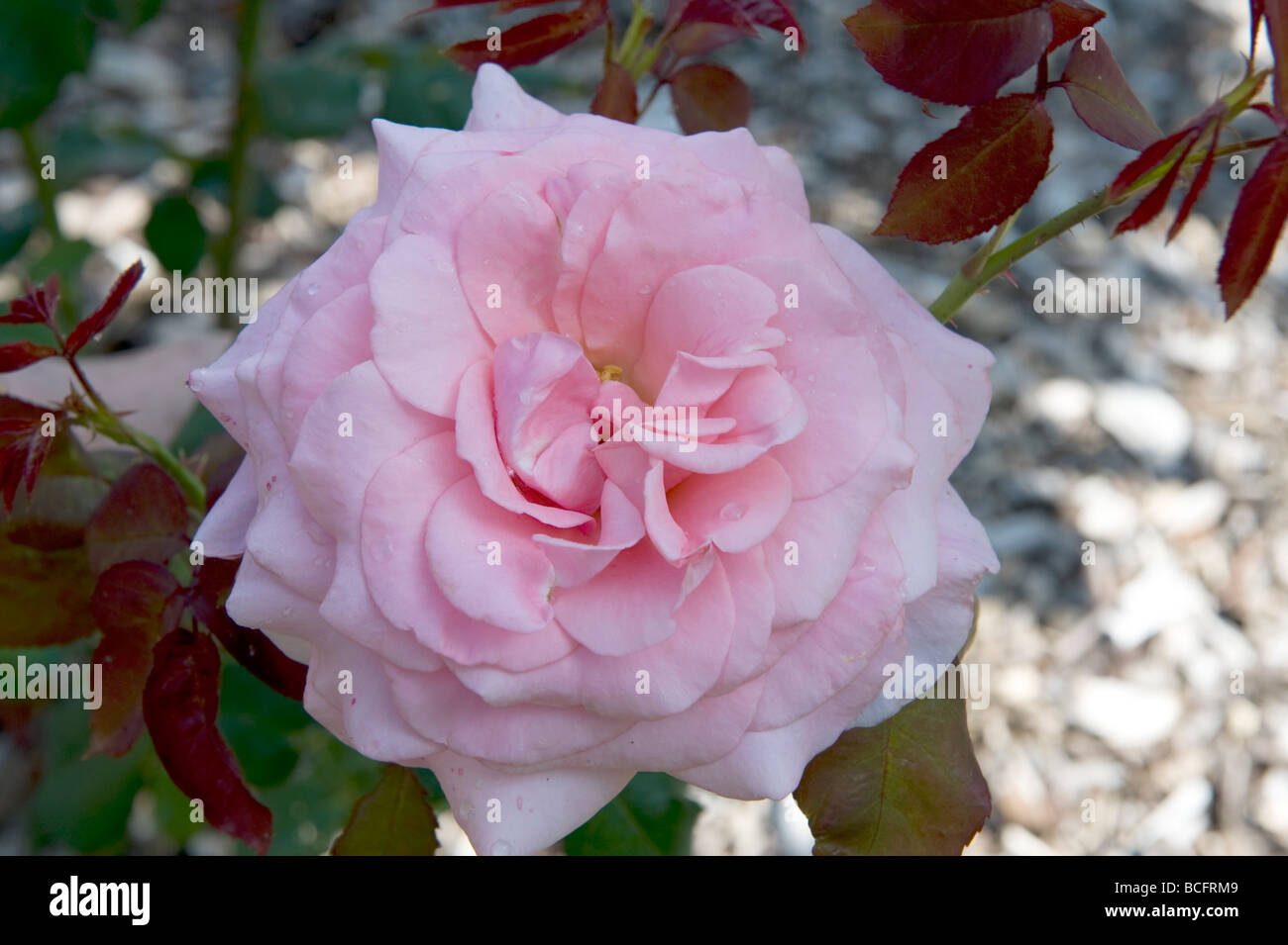 Rosa `Pink Favourite` hybrid tea rose. Double bright rose pink flower. - Stock Image