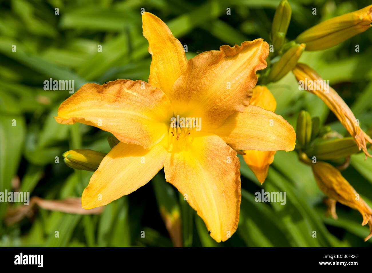 Hemerocallis Daylily Hyperion A Bright Yellow Flower With Long