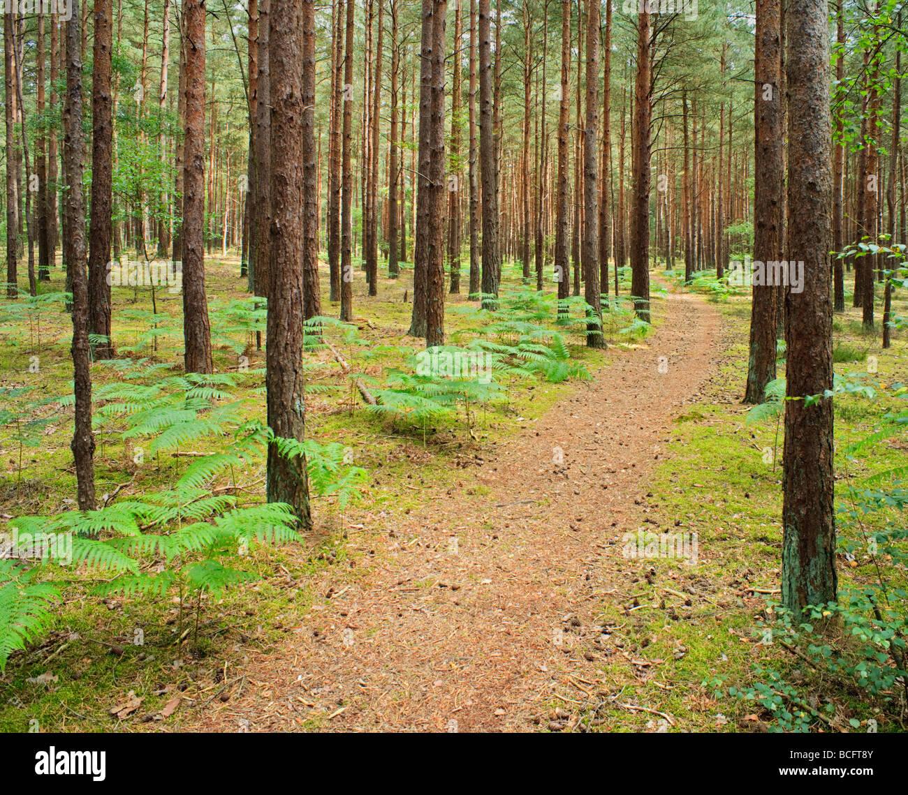 Pine forest Frensham Surrey England UK Stock Photo