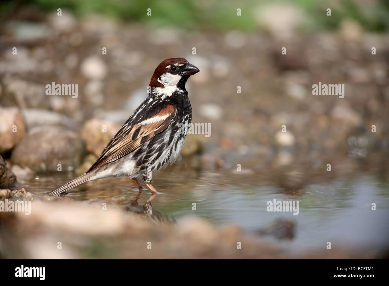 Spanish sparrow Passer hispaniolensis male Bulgaria June 2009 Stock Photo