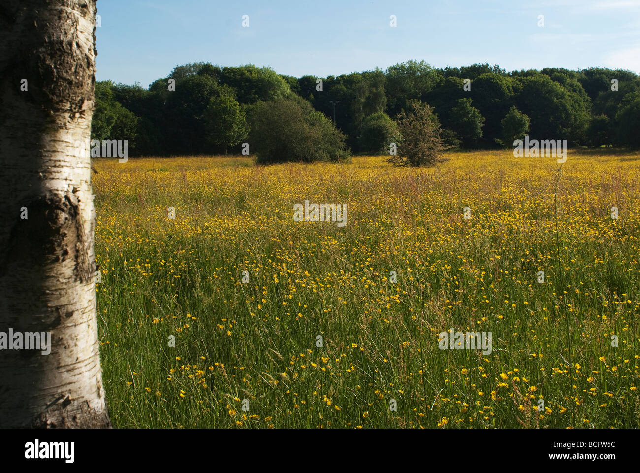 Pasture Field Wild Yellow Flowers Stock Photos Pasture Field Wild