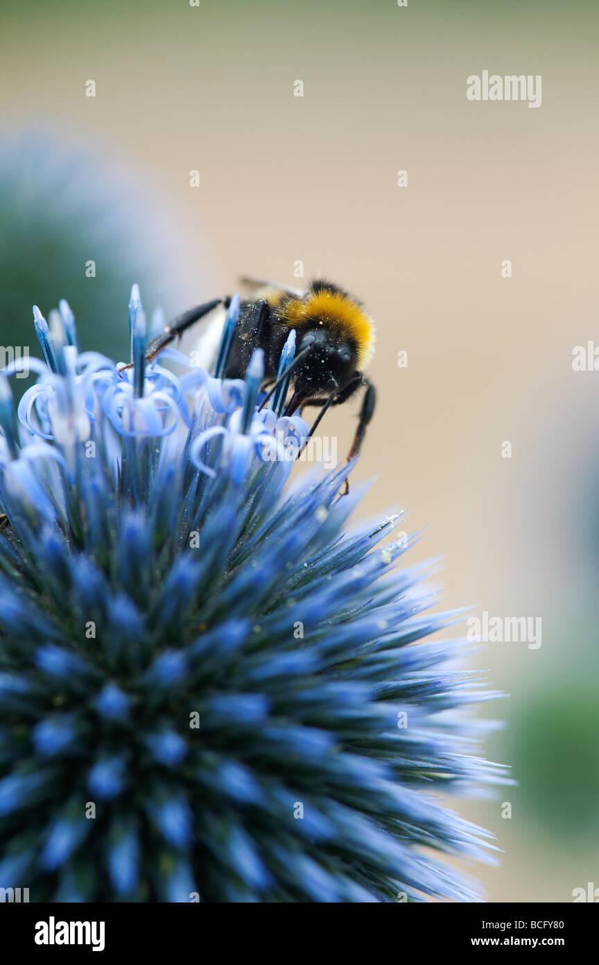 Bombus lucorum. White tailed Bumblebee feeding on Echinops ritro veitchs 'globe thistle'  flower - Stock Image