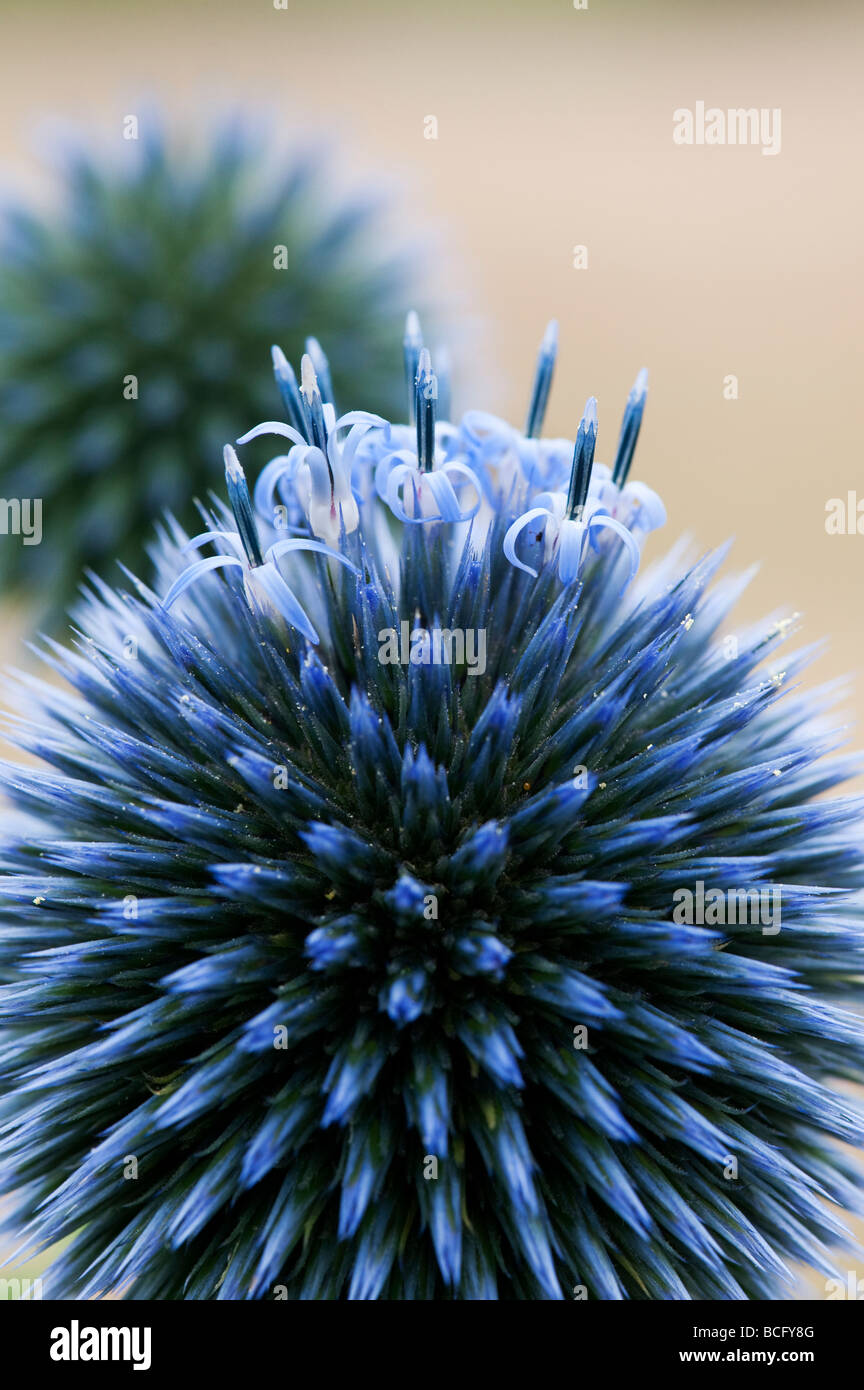 Echinops ritro veitch's blue. Globe thistle flower in an English garden - Stock Image