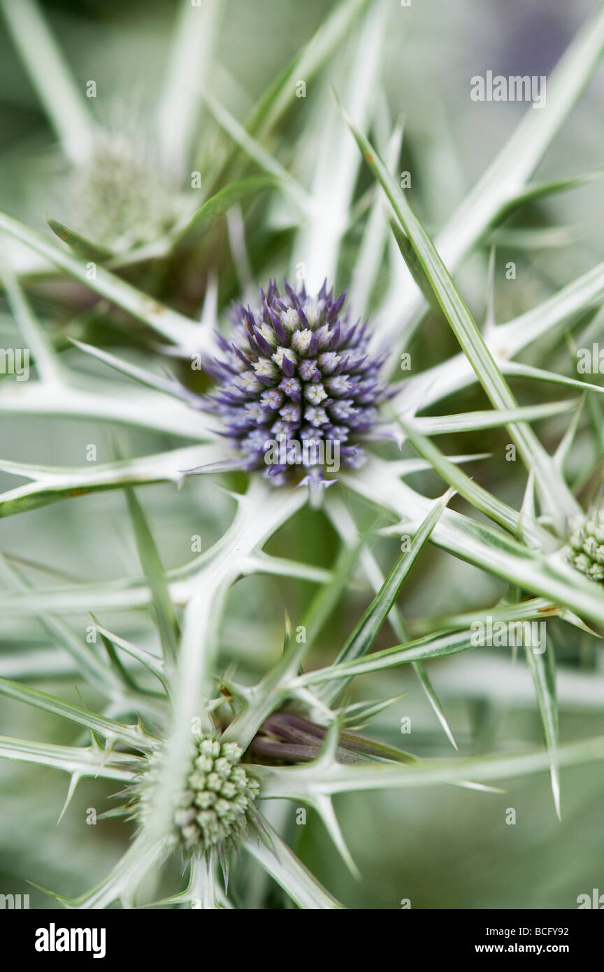 Eryngium variifolium. Eryngo. Variable leaved sea holly. Moroccan sea holly - Stock Image