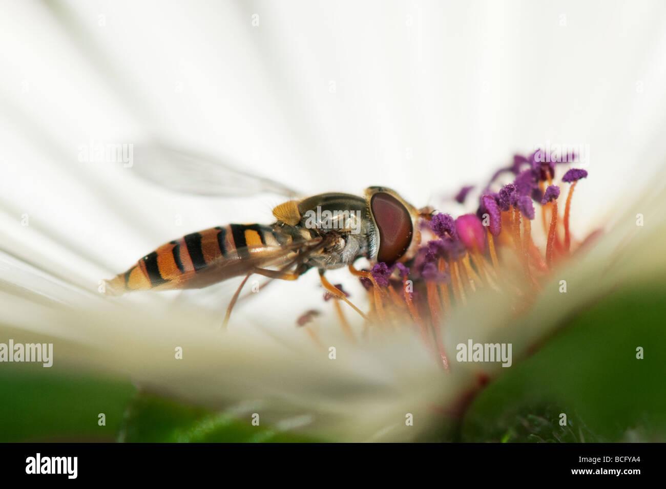 Hoverfly 'Syrphus torvus' feeding on Livinstone daisy flower - Stock Image