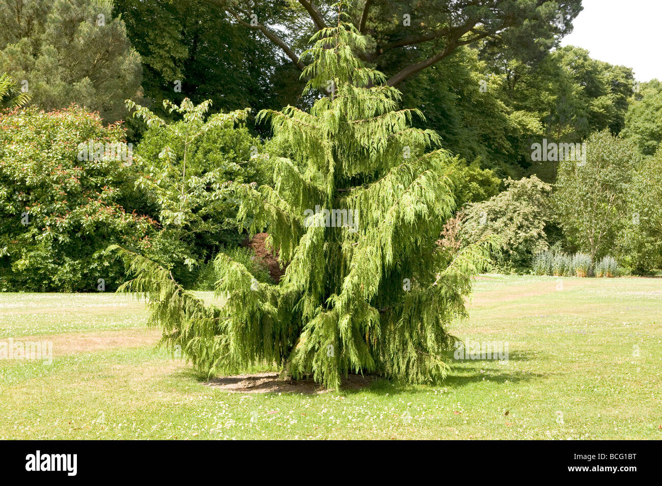 Cedrus Cedar deodara `Aurea`. Ideal small conifer for a large garden. - Stock Image