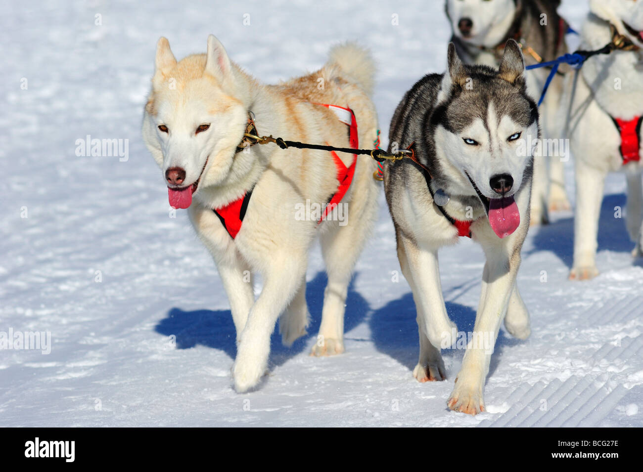 Details of a Malamute sled dog team in full action heading towards the camera - Stock Image