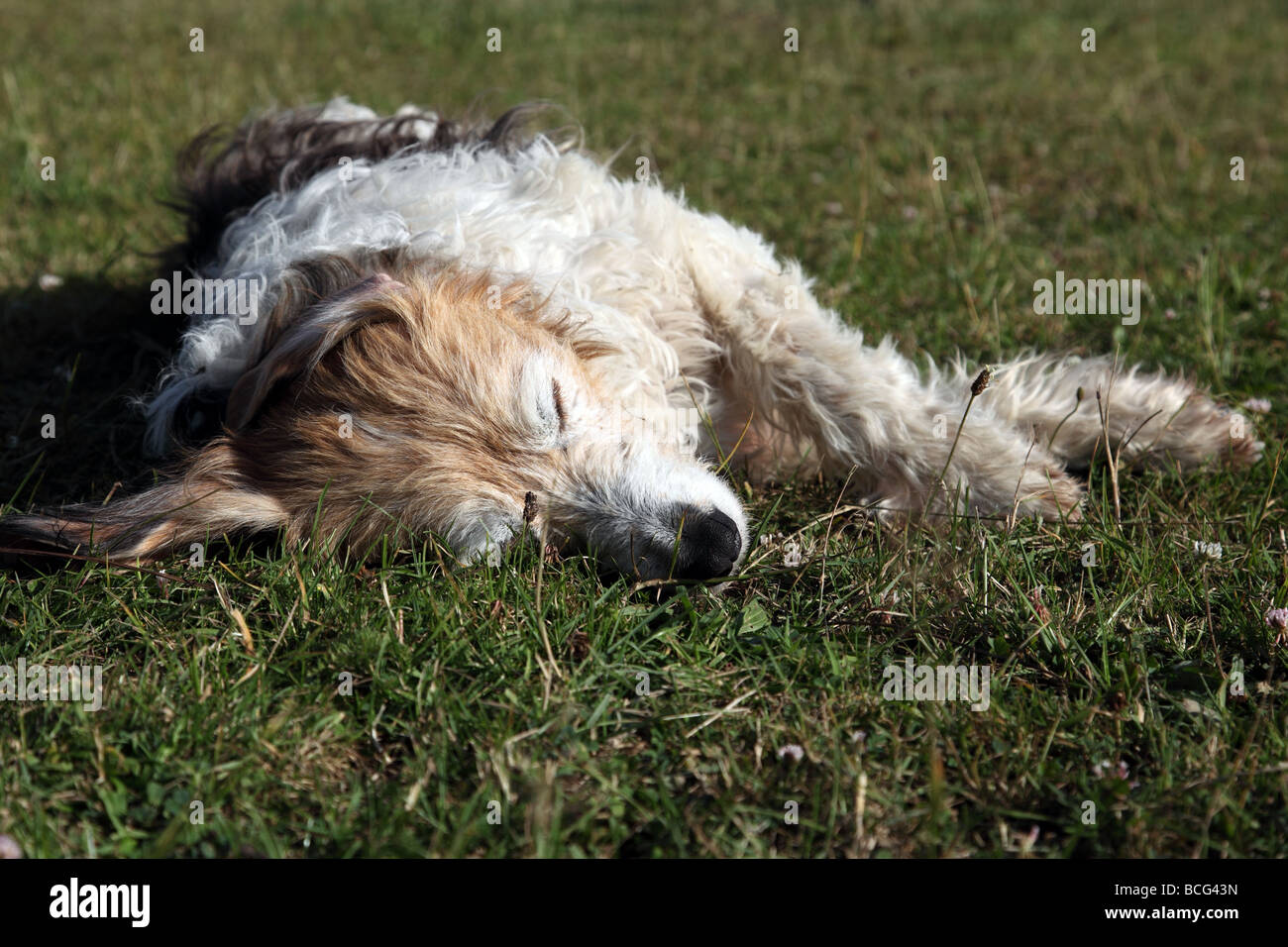Crossbreed dog lying flat out asleep in the sunshine - Stock Image