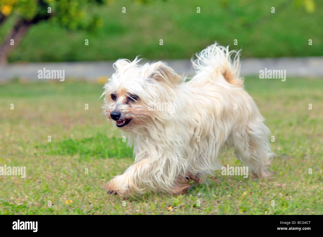 small Australian silky terrier dog at play - Stock Image
