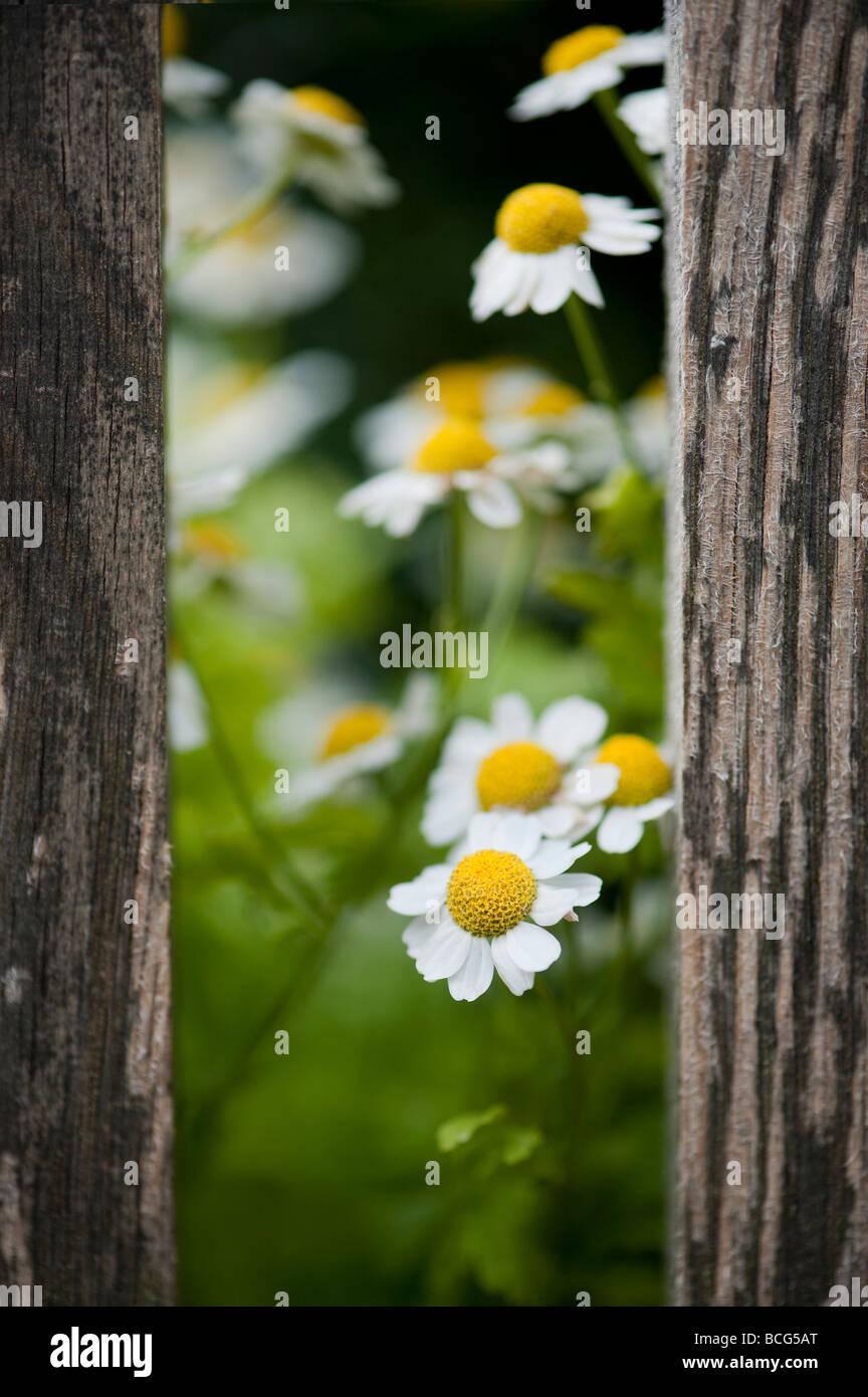 Anthemis nobilis. Roman camomile flower peeking through gate posts in an english garden - Stock Image