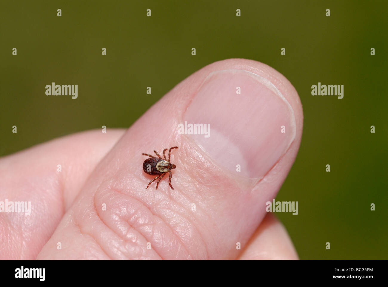 Female American dog tick, Dermacentor variabilis, also known as the wood tick - Stock Image