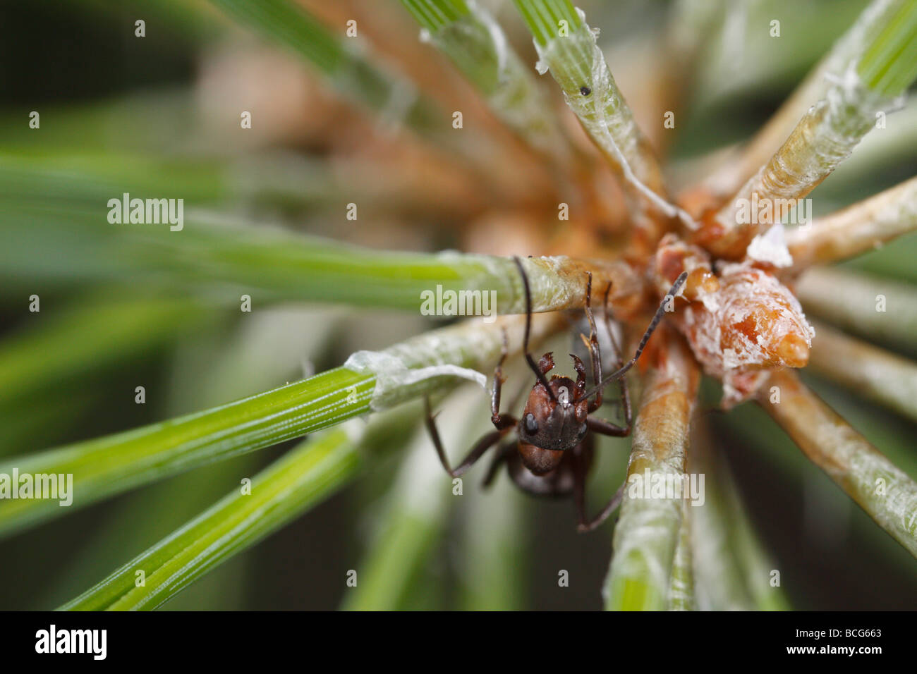 Horse ant (Formica rufa) on a pine twig. The worker is defending an aphid that can be seen below her. Stock Photo