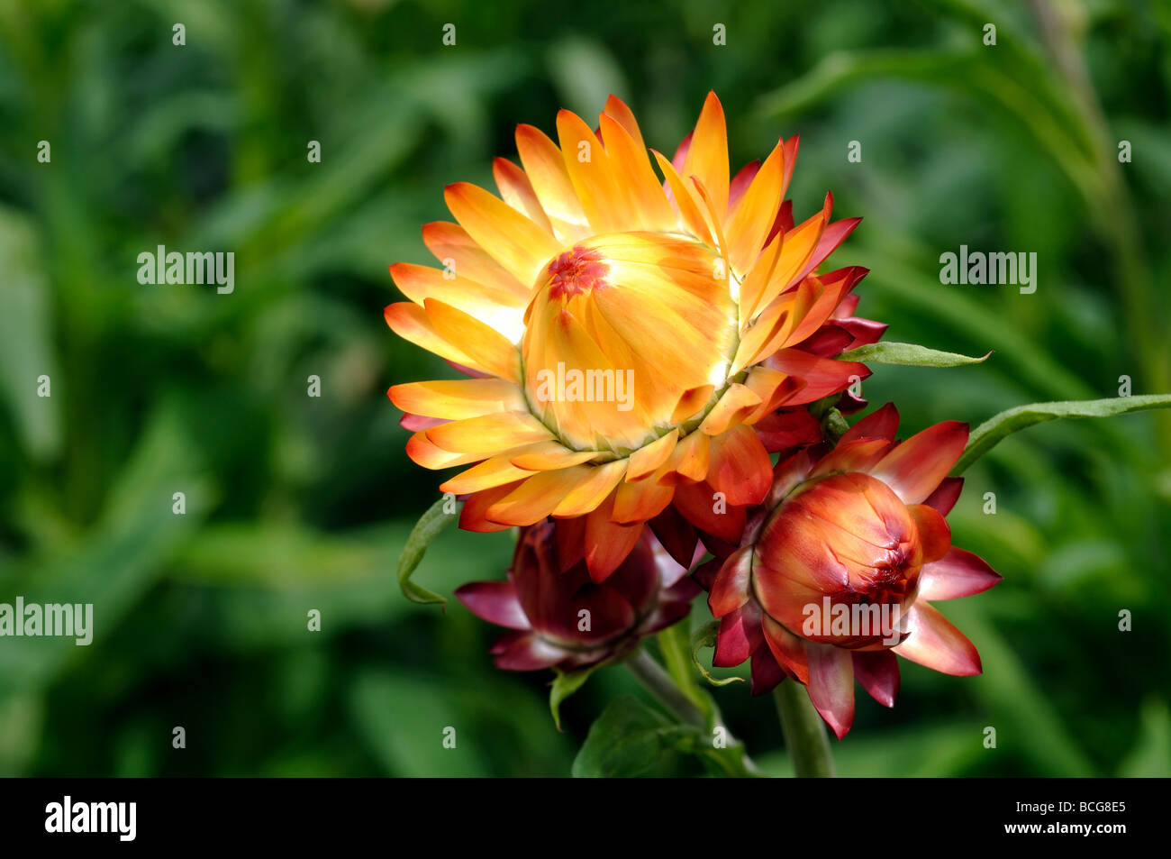 Helichrysum Forever mix Straw Flower - Stock Image
