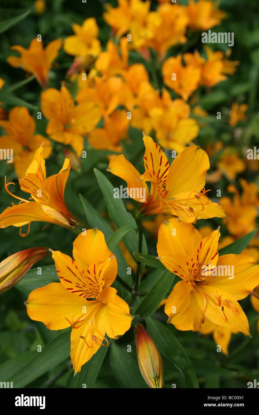 Peruvian Lily or Lily of the Incas Alstroemeria aurea Taken In Calderstones Park, Liverpool, UK Stock Photo