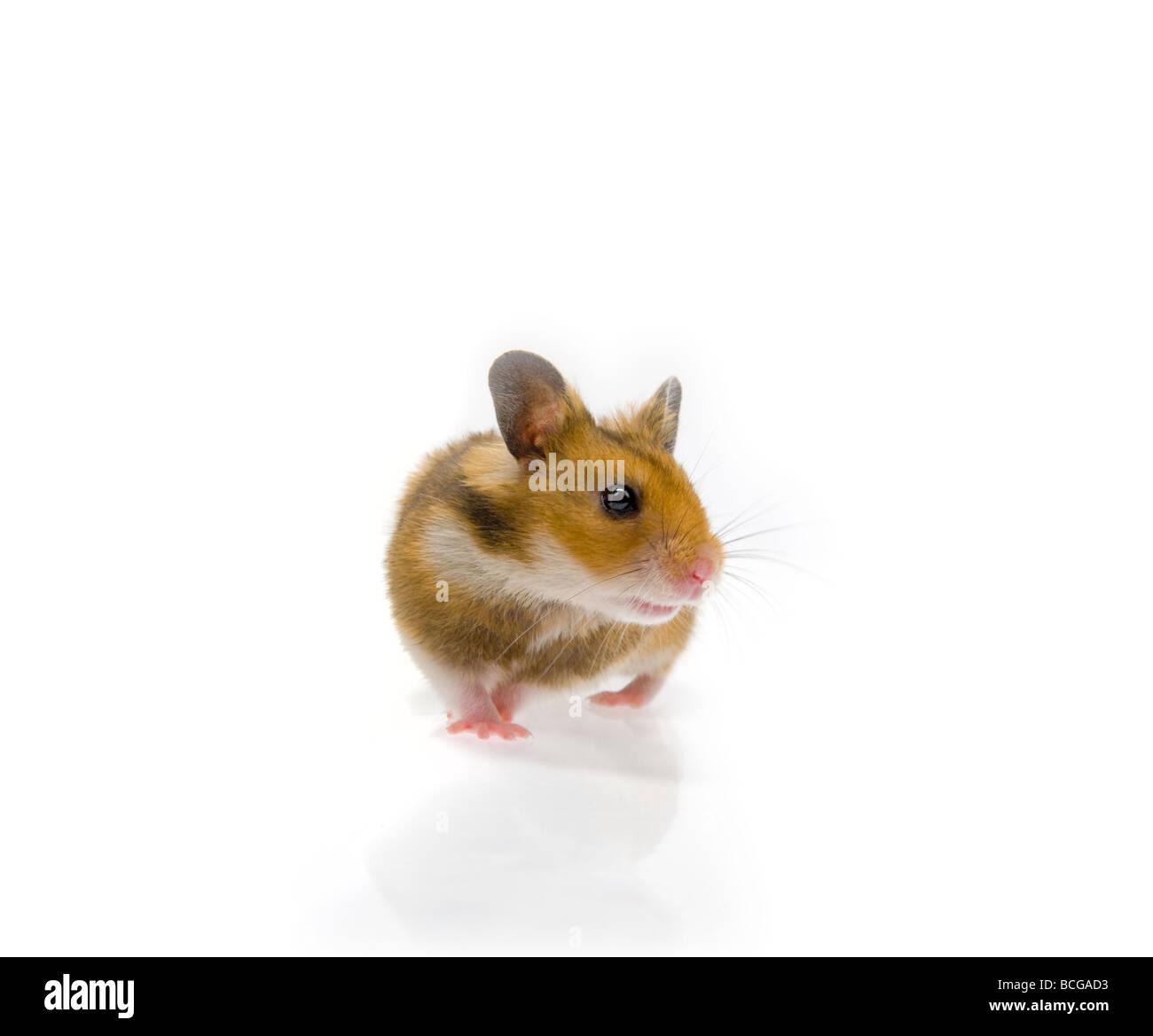 brown Hamster on white background goldhamster dark plain background pet animal studio shot awake listen listening - Stock Image
