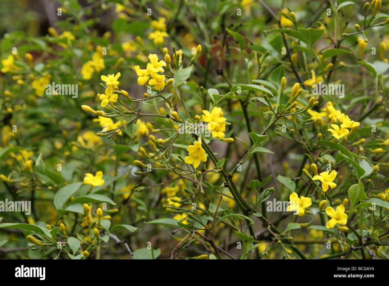 Yellow Jasmine Flower Stock Photos Yellow Jasmine Flower Stock