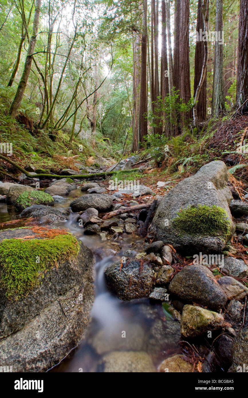 Redwood Forest and Stream, Santa Lucia Preserve - Stock Image