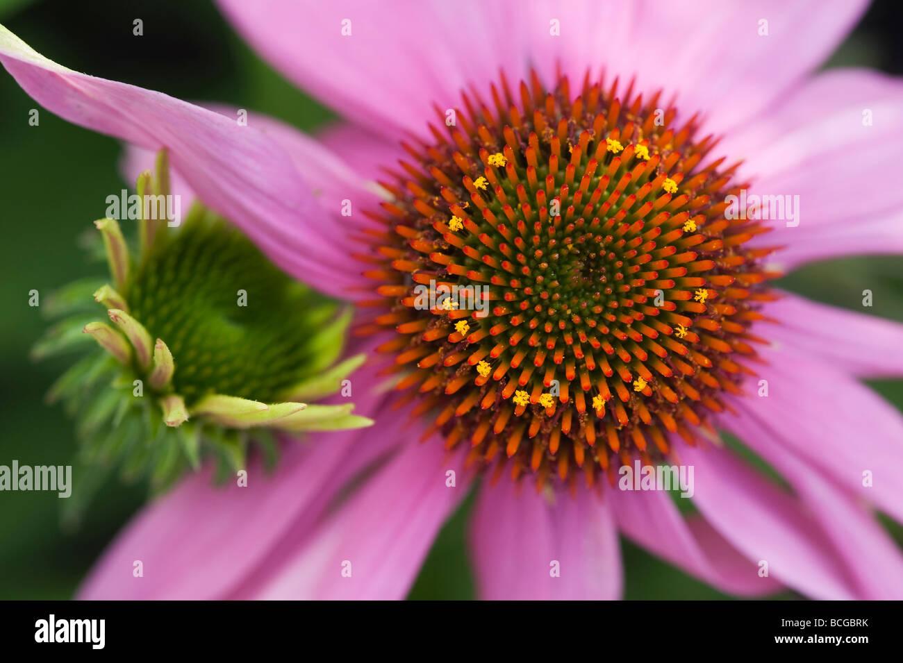 Echinacea purpurea 'Kims knee high'. Purple coneflower 'Kim's Knee High' Stock Photo