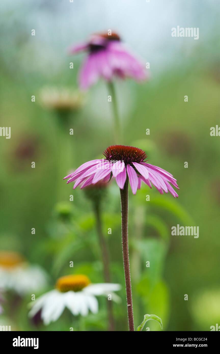Echinacea purpurea 'magnus'. Coneflower 'Magnus' - Stock Image